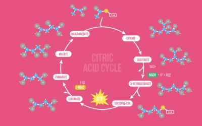 Citric Acid Cycle (Kreb's Cycle) Song
